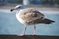 Sea gull. A sea gull is resting in the sunshine near a harbor near Ventura, California Royalty Free Stock Images