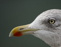 Sea gull. A photo of a flying seagull stock photo