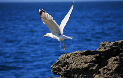 Sea gull Royalty Free Stock Images