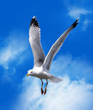 Sea gull. Flying in a blue sky with white clouds royalty free stock photos