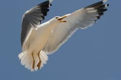 Free Sea Gull Royalty Free Stock Image - 15858806
