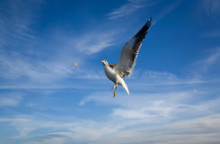 Sea gull. Sky blue clouds Royalty Free Stock Images