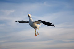 Sea gull. Bird flying in blue sky Royalty Free Stock Photography