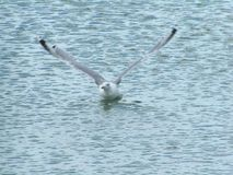Sea-gull. Black Sea sea-gull Stock Images