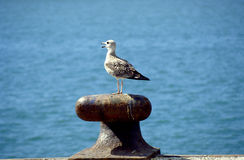 Sea-gull 2. Sea-gull upon an object Stock Image