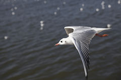 Sea gull Royalty Free Stock Photography