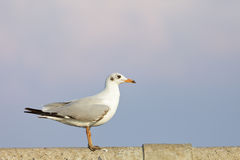 A sea gull Royalty Free Stock Images