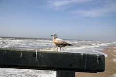 Sea-gull. Empty spring coast near Amsterdam Royalty Free Stock Images