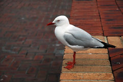 Sea gull. White clean sea-gull standing on pavement bricks Stock Photos