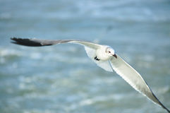 Sea gull. Flying sea gull  through the ocean Royalty Free Stock Image