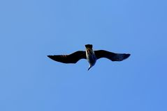 Sea Gull. A sea gull in flight with wings spread on very blue sky Royalty Free Stock Photo