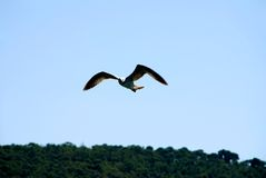 Sea Gull. A sea gull in flight with wings spread on very blue sky Royalty Free Stock Photography