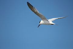 Sea gull. Flying on clear blue sky Royalty Free Stock Photography