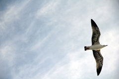Sea gull. A sea gull flying in the sky Royalty Free Stock Photo