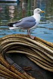 Sea Gull. Standing on a pile of rope with water in the background Stock Photo