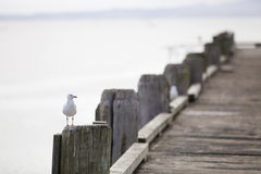 Free Sea Gull. Stock Photo - 32430600