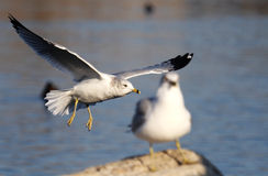 Sea gull. The sea gull is hunting for food stock images