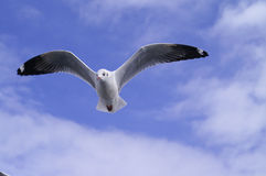 Sea gull. On blue sky wiht somr clouds Royalty Free Stock Images