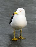 Sea-gull Royalty Free Stock Images