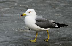 Sea-gull Royalty Free Stock Photos