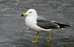 Sea-gull. Beautiful sea-gull stands still on ice Royalty Free Stock Photos