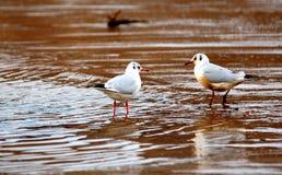 Sea gull. Sandy beach with pair of sea gull sweethearts Stock Image