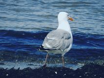 Sea gull. The gull and the sea Stock Images