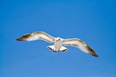 Sea Gull Royalty Free Stock Image