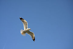 Sea gull. A sea gull in flight Royalty Free Stock Images