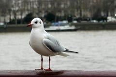 Sea-gull Στοκ εικόνα με δικαίωμα ελεύθερης χρήσης