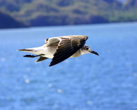 Sea gull. Flying high Stock Photography