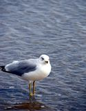 Sea Gull. A single sea gull standing in the ocean's shallow water royalty free stock image