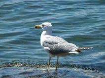 Sea-gull Στοκ Φωτογραφίες
