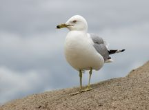 Sea Gull. Standing on rock Stock Images