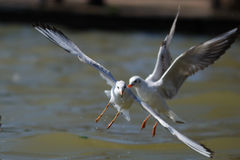 Sea gull. Which eats food in the water stock photography