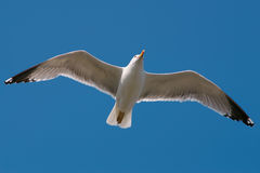 Sea gull. Flying sea gull, isolated on a blue sky Stock Images