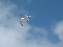 Sea Gull. In the air Royalty Free Stock Photo