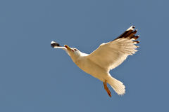 Free Sea Gull Royalty Free Stock Photography - 964837