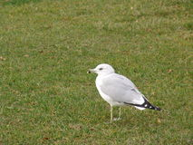 Sea gull. Adult Ring-billed gull lonely on a park stock photos