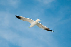 Sea gull against blue sky Stock Images