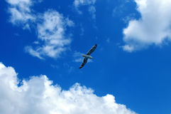Sea gull against a blue sky with white clouds Stock Image
