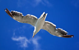 Sea gull against a bright blue sky Royalty Free Stock Photos