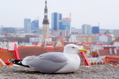 Sea-gull Royalty Free Stock Image