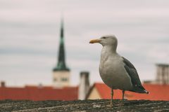 Sea gull against old town of Tallinn royalty free stock images