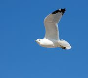 Sea gull in the air. Sea gull in an air against the blue sky Stock Photos