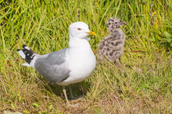 Sea gull with baby chick Stock Photos