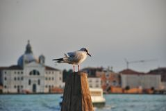 Sea gull on background cityscape Venice Royalty Free Stock Photos