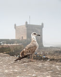 Sea gull on background of the old fortress Royalty Free Stock Photo