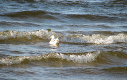 Sea gull in the Baltic sea Royalty Free Stock Photos
