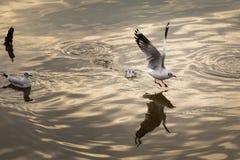 Sea gull. At bangpu, Thailand royalty free stock image